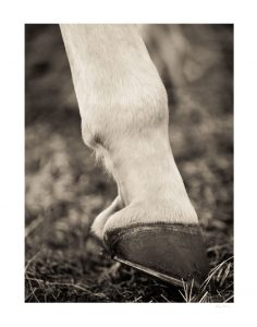 hoof with horseshoe