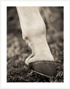 white horse hoof with horseshoe