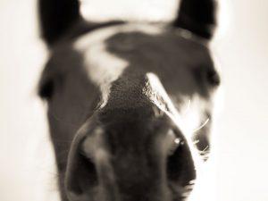 close up horse nose photograph