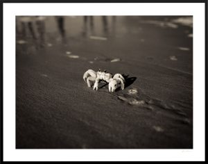 crab at the coast of folly beach sc