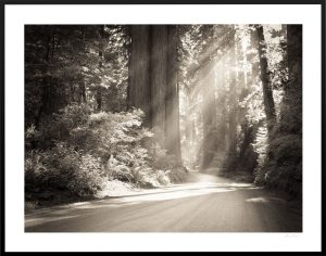 redwood forest and sunlight beams