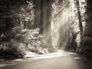 redwood tree and sunlight on path