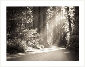 redwood national forrest with light on path