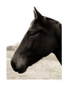 horse looking forward with ears facing forward