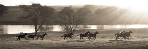 horses running on pasture as the sun rises