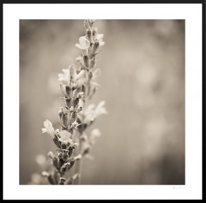 close up photograph of lavender | custom frames