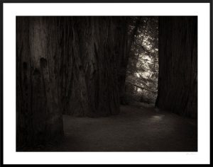 dark forest and redwood trees in california