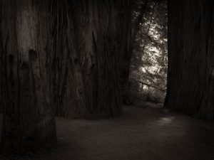 dark forest and redwood trees